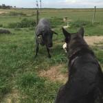 Missie bekantar sig med nya fåren